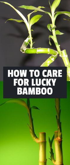 Lucky Bamboo has been a symbol of good fortune for over years. Also known as Dracaena sanderiana, it will thrive in almost any area of the home. Small Bamboo Plants, Bamboo House Plant, Indoor Bamboo Plant, Bamboo Plant Care, Bamboo In Pots, Snake Plant Care, House Plant Care, House Plants, Indoor Plants