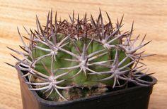 Rodentiophila esmeraldana
