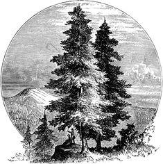 <b>Pine</b> <b>Tree</b> | ClipArt ETC