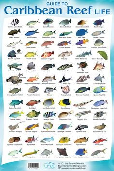 This is a Coral Reef Fish Species Chart so you know what Cancun Fish Species you can find while diving in our beautiful reefs, not only in Cancun, but in the Riviera Maya as well (Besides Diving with Sharks, Bull Sharks! Reef Aquarium, Saltwater Aquarium, Marine Aquarium, Freshwater Aquarium, Cancun Diving, Padi Diving, Cozumel, Scuba Diving Gear, Fish Chart