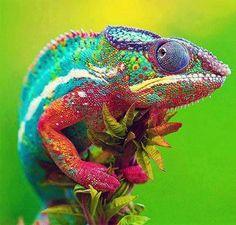 Chameleon... amazing color!