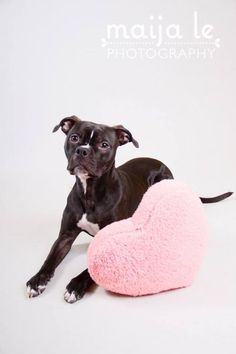 Meet Dinah D140134, a Petfinder adoptable Pit Bull Terrier Dog | Minnetonka, MN | Name: DinahDate of Birth: 1/06/2014Gender: FemaleBreed: Pt BullWeight: 30 lbsDog friendly: YesCat...