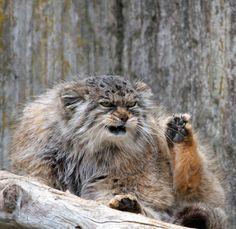 「えっ、なんか文句あんの!?」マヌルネコの怒った顔が表情豊すぎて愛らしい