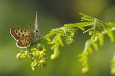 Lycaena tityrus - Sooty Copper - Bruine vuurvlinder - Brauner Feuerfalter