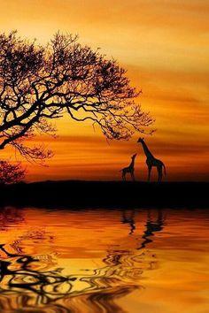 Silhouette ∞∞∞∞∞∞∞∞∞∞∞∞∞∞∞∞∞∞∞∞∞∞∞∞∞∞∞∞ Giraffes ∞∞∞∞∞∞∞∞∞∞∞∞∞∞∞∞∞∞∞∞∞∞∞∞∞∞∞∞ Golden Nature ~ 'Wild ' Dawn' by Martin Wait. Beautiful Sunset, Beautiful World, Animals Beautiful, Foto Poster, Art Africain, Amazing Nature, Belle Photo, Nature Photos, Pretty Pictures