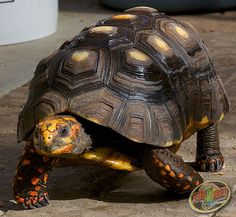 The mighty Redfoot Tortoise is our Turtle/Tortoise of the Day for TurtleWeek 2014!