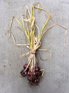 Garlic harvest...saw some at the Woodstock Farmers Market this morning! (photo by maitreya)