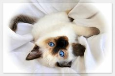 Applehead Siamese Kitten    ...My Favorite Siamese :)