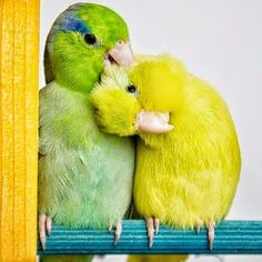 male green parrotlet with a female american yellow parrotlet. Parrotlet's make wonderful pets. All Birds, Cute Birds, Pretty Birds, Beautiful Birds, Animals Beautiful, Exotic Birds, Colorful Birds, Bird Pictures, Animal Pictures
