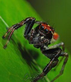jumping spider (salticidae)