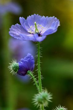 Prickly Blue-Poppy - Meconopsis horridula Commonly known as Prickly Blue-Poppy, and Tibetan Poppy, Meconopsis horridula (Ranunculales - Papaveraceae) is an unusual bristly poppy with gorgeous, floppy,.
