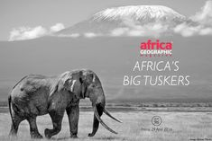 Africa's tuskers deserve special mention - these huge elephants are facing the combined pressures of poaching and trophy hunting African Elephant, Kenya, Conservation, Wildlife, Elephants, Big, Gallery, Celebration, Icons