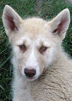 Explore: Oct 2007 The Greenland Dog is a large breed of husky-type dog kept as a sled dog. Husky Type Dogs, Husky Dog, Doggies, Dogs And Puppies, Greenland Dog, Sled Dogs, Daniel Craig, Girls Best Friend, Adorable Animals