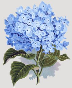 Blue hydrangea flowers vintage art - floral drawing - summery - flowery spring - antique image, Wall Clock, 13 by Art Floral, Floral Drawing, Flower Drawings, Vintage Clip Art, Images Vintage, Vintage Drawing, Baby Shower Chic, Impressions Botaniques, Main Image