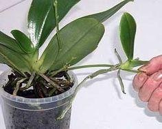 Fiche de culture des orchidées Phalaenopsis