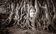 Resilience - Buddha head emerging through the roots of a bunyan tree at Ayutthaya, Thailand