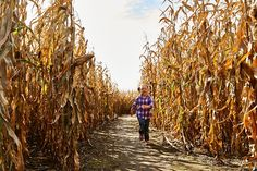 The giant corn maze at Schopf's Hilltop Dairy near Carlsville is a beloved annual fall tradition.