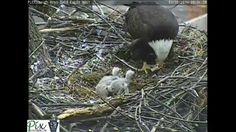 Composite video showing the Pittsburgh Hays bald eaglets from April 1st through April 29th 2014