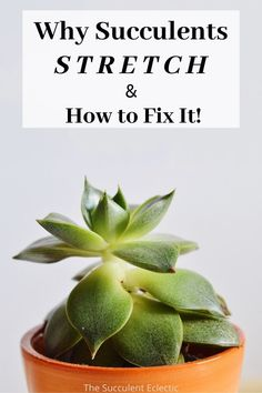 Have you ever had a succulent grow tall, thin and stretched? Learn all about why succulents stretch and how to fix them! This is not just a cosmetic problem - In severe cases, succulents will die from over-stretching. Learn what your succulents need so they won't stretch.  #succulentcare #etiolatedsucculents #succulentstretching #etiolation Succulent Care, Succulent Pots, Colorful Succulents, Planting Succulents, Succulents Drawing, Lower Lights, New Roots, Plant Guide, House Plant Care