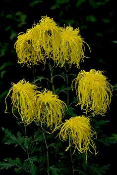 Chrysanthemum wow