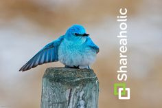 2x the Brand Recognition in 1 Simple Step: Customizing your Twitter-Share Template to Include your @TwitterHandle! Blue Jay, Blue Bird, Color Patterns, Make It Simple, Birds, Templates, Alaska, Twitter, Mexico