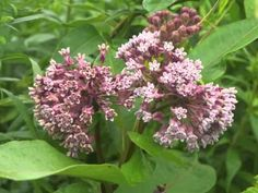 Plant portrait - Common milkweed (Asclepias syriaca) - YouTube