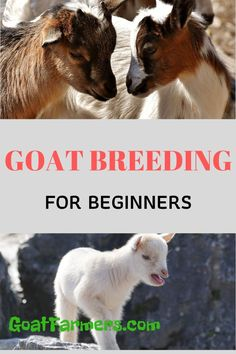 You can get started breeding your goats with confidence. Our guide shows you step-by-step how and when goats breed, ages when it's safe to breed, what do do if goat won't breed, how to stop them from breeding and when to expect your new kids to arrive. Get yourself educated so you can stop worrying and enjoy having your own baby goats bouncing around in no time at all. Breeding Goats, Pregnancy Signs, Mini Farm, Baby Goats, New Kids, Things That Bounce, Confidence, Age, Animals