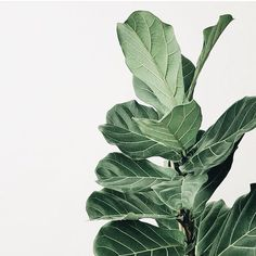 Fiddle Leaf Fig Plant - Stunning green foliage - New Ideas Leave In, Decoration Plante, Plant Wallpaper, Plant Aesthetic, Pot Plante, Plants Are Friends, Fiddle Leaf Fig, Deco Floral, Green Life