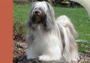Tibetan Terrier - AKC e-Newsletter December 2012