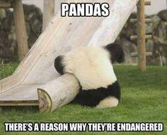 What is really endangering pandas - Meme Guy