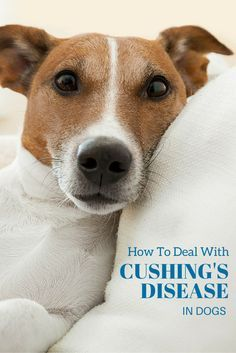 What does increased hunger, lack of energy, loss of hair and muscle weakness have in common? They're all symptoms of Cushing's Disease in dogs - find out more about this condition here. Cushing Disease, Muscle Weakness, Lack Of Energy, Pet Life, Pet Shop, Your Dog, Baby Bears, Pets, Shelter