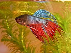Japanese Fighting Fish | Betta Fish Care Guides Tips & Articles. Project: Research about taking care of your fish. LESSON 6