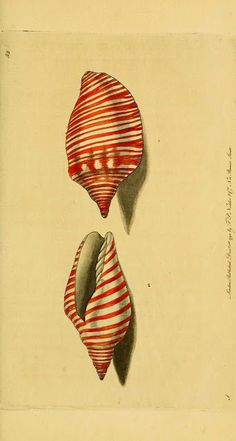 Shell by Ernst Haeckel.  Haeckel was an eminent German biologist, naturalist, philosopher, physician, professor and artist who discovered, described and named thousands of new species.