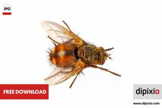 Free photo of fly (Tachinidae) for download on www.dipixio.com #dipixio #freephoto #freebie #free #photo #freedownload #stockphotos #photography #graphics #photos #blog #blogger #pic #freeimages #stock