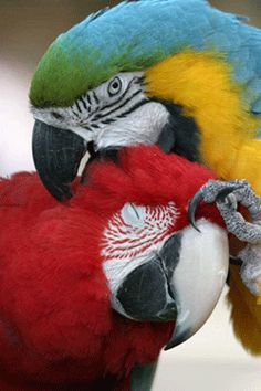 Macaw Parrot - Macaws Preening - Macaws are like adorable feathered 3 year-old children.
