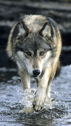 Timber wolf ~