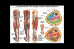 Gastrocnemius muscle Pictures