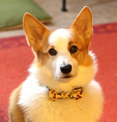 Dog bowtie with cute dog bones' print by PuppyPawzBoutique on Etsy