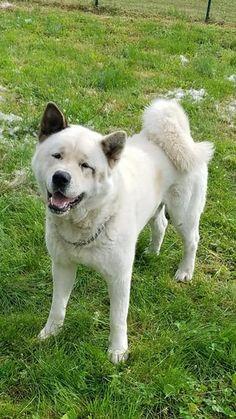 TAMOTSU AKITAS – AKC American Akitas My Best Friend, Best Friends, Japanese Akita, Bear Attack, American Akita, Akita Dog, Dark Places, Inu, Beautiful Dogs
