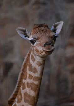 <b>Chester Zoo just welcomed a new baby giraffe and she DGAF.</b>