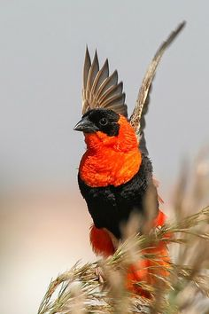 Northern red bishop or orange bishop (Euplectes franciscanus) is a weaver belonging to the family Ploceidae. 426 × 640