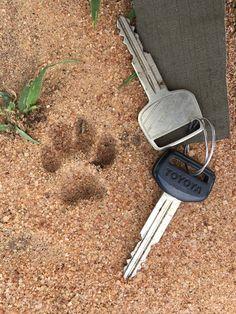Serval footprints, Silale swamp, Tarangire