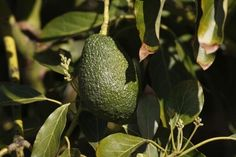 Avocado Could Be Used To Treat Leukemia! How A Lipid Found In Avocado Can Be Used To Battle Acute Myeloid Leukemia | AsianPin