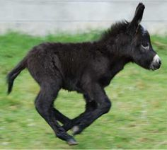 Baby Donkey. Oh my I need one.. Cutest thing ever