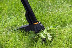 Löwenzahn mit Unkrautstecher aus Rasen entfernen