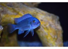 African Cichlid - not one of my photos, but we have one like this