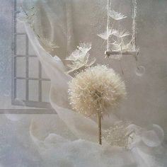 Dandelion white ~ Make Your Wish