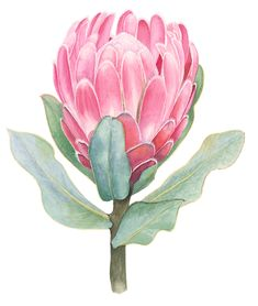 Protea Art, Protea Flower, Watercolor Plants, Watercolor Artwork, Australian Native Flowers, Watercolor Paintings For Beginners, Plant Illustration, Diy Canvas Art, Copics