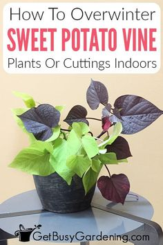 Overwintering sweet potato vines is not only possible, but is a great way to save your beautiful plant from dying and save you money on a new one next year. Whether yours are potted or grown in your garden, I have a method for how to overwinter your sweet potato vine indoors so you can enjoy it next year as well. I'll walk you through how to debug potted plants and vine cuttings and then share how to care for them throughout the winter, so you'll have healthy sweet potato vines come spring. Water Plants, Garden Plants, Indoor Plants, Potted Plants, Potato Vine Plant, Potato Vines, Beautiful Gardens, Beautiful Flowers, All About Plants