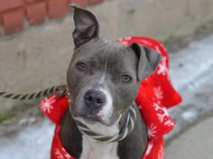 TO BE DESTROYED - 02/09/15 Brooklyn Center -P  My name is BAMBI. My Animal ID # is A1027046. I am a female gray and white pit bull mix. The shelter thinks I am about 2 YEARS   I came in the shelter as a STRAY on 02/03/2015 from NY 11208, owner surrender reason stated was STRAY.